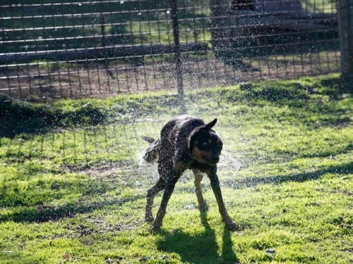 Kelpie dog shaking off a spray of water