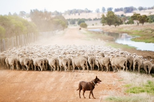 Kelpie musters sheep to the yards