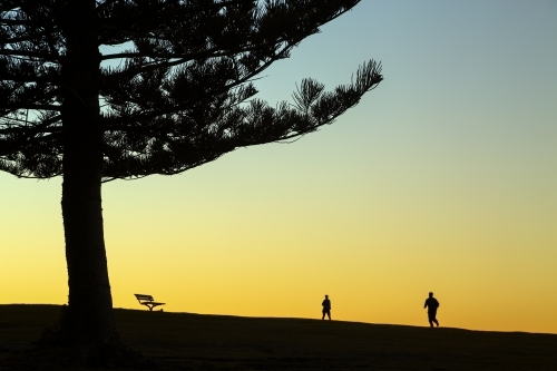 Norfolk Island Pine tree people and a park bench silhouetted at Dawn