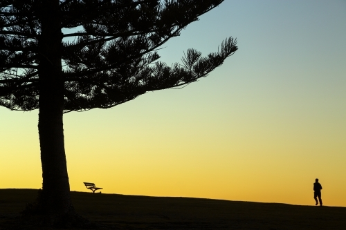 Norfolk Island Pine tree, one person and a park bench silhouetted at Dawn