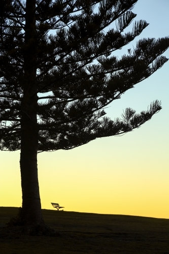 Norfolk Island Pine tree and a park bench silhouetted at Dawn