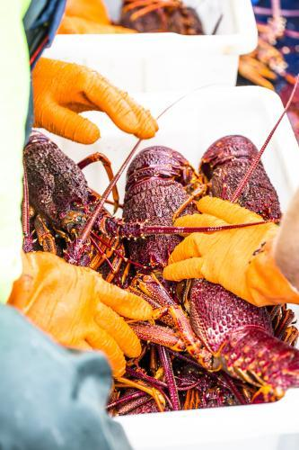 King Island Cray Fish are packed ready for shipment
