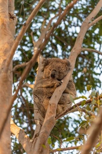 Koala in gum tree