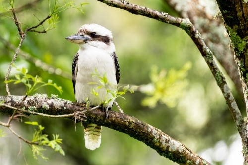 Kookaburra in a garden tree.