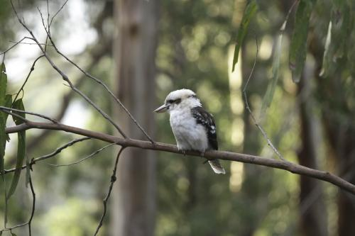 Kookaburra on a tree branch in the bushland