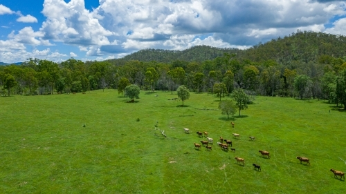 Kroombit Tops National Park summer landscape with Brahman cattle and vibrant green vegetation, Queen