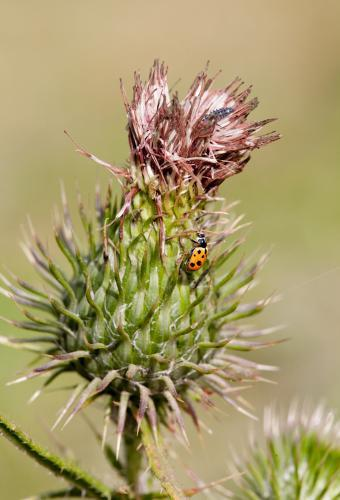 Lady beetle on a thistle
