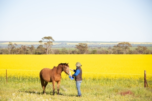 Lady leading horse with yellow canola crop in background