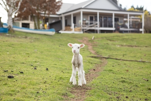 Lamb in front of country home