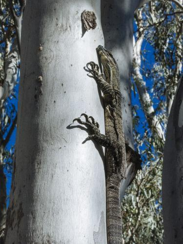 Large lizard climbing a tree