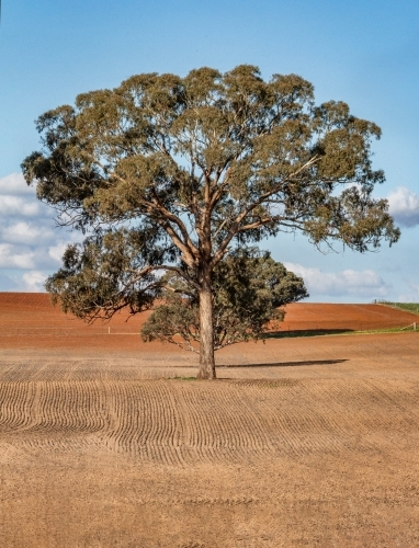 Large tree in the middle of ploughed field