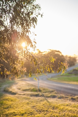 Late afternoon sunlight shining through gum tree leaves beside road