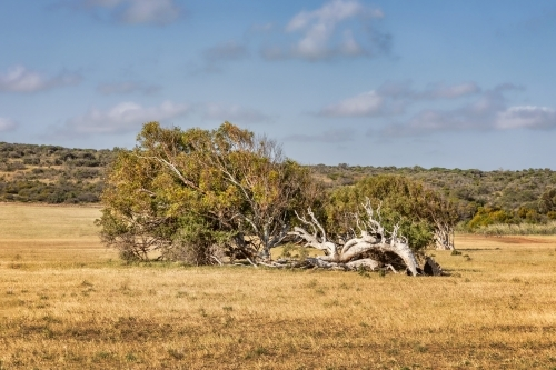 Leaning River Gum trees resulting from constant southerly winds