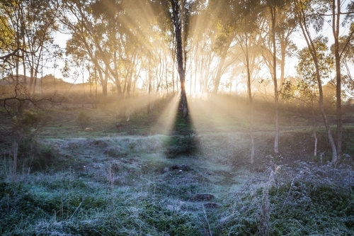 Light rays beam through gum trees on a foggy winters morning
