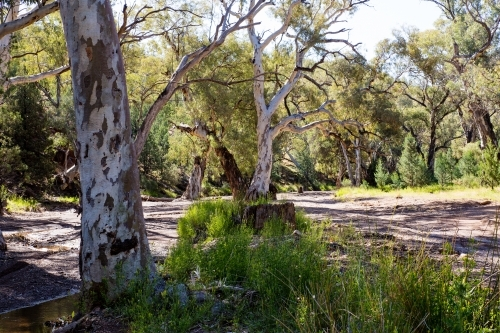 light through gum trees in dry creek