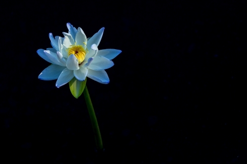Blue lily against dark backdrop