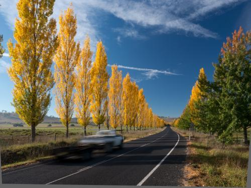 Line of golden trees beside a highway
