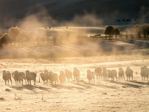 Line of sheep in early morning mist