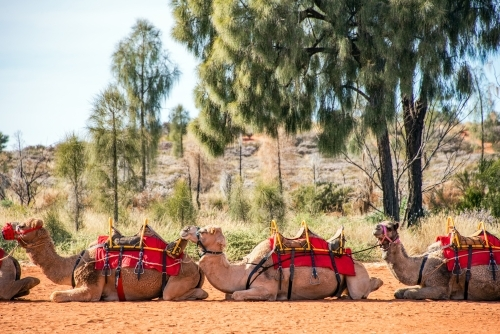 Line up of camels ready to take people for camel riding tour