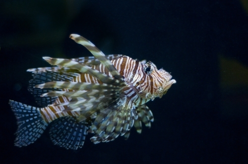 Lion fish in profile on a black background