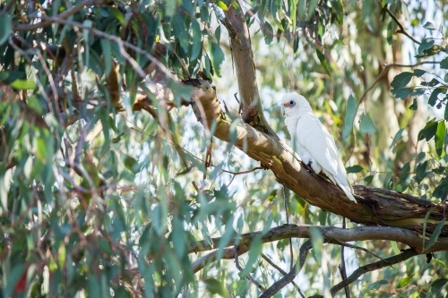 Little Corella sitting among green gum leaves in a tree