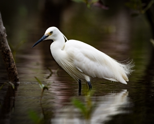 Little Egret standing in shallow water