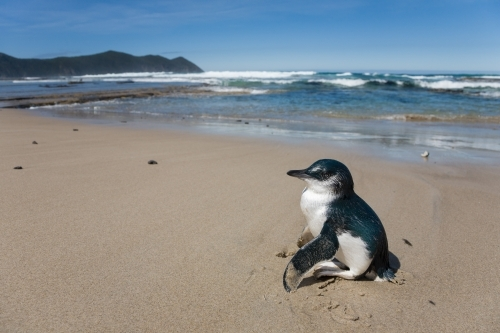 Little Penguin (Eudyptula minor) standing with wings outstretched on a sandy beach