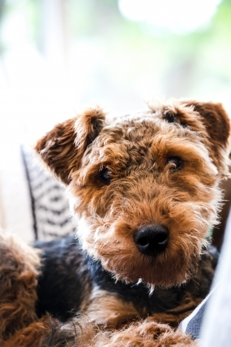 Little welsh terrier dog