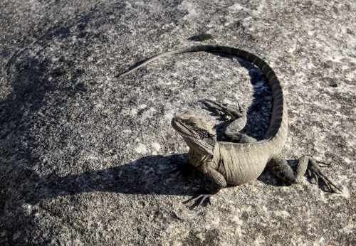 Lizard (Eastern Water Dragon) on sandstone rock