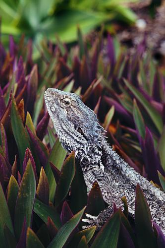 Native lizard perched in residential shrubs