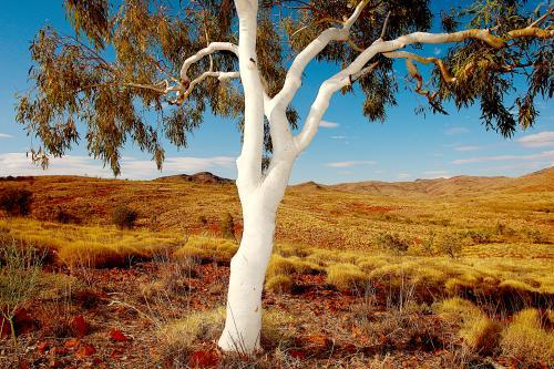 Lone ghost gum tree and spinifex grass in outback Northern Territory