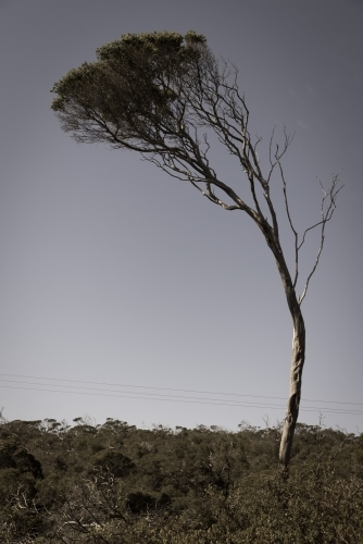Lone tea tree shaped by the wind