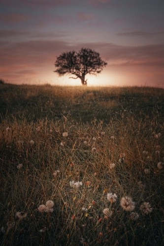Lonely Tree in an Ethereal Field at Sunrise