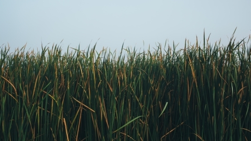 Long reeds against sky