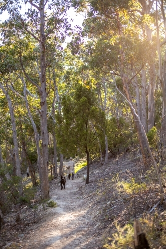 Looking along a gravel walking track in amongst an open dry eucalyptus forest