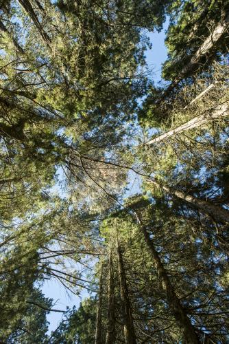 Looking straight up in a forest of towering trees