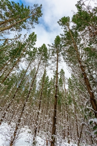 Looking up at a forest of tall slender pine trees covered in snow