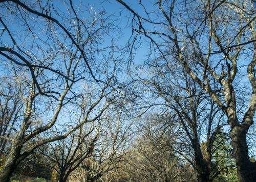 Looking up at blue sky through leafless branches