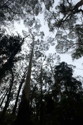 Looking up at canopy of silhouetted large gum trees