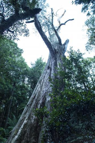 Looking up at forest canopy and biggest tree in NSW