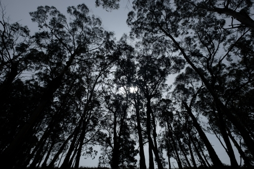 Looking up at silhouetted large gum trees