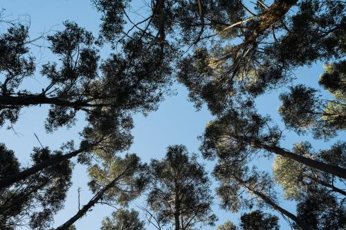 Looking up through the trees in a blue gum plantation