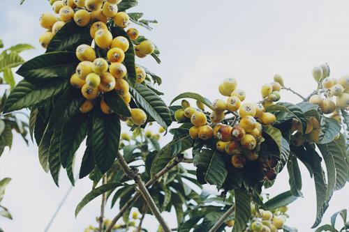 Loquat harvest in the summer