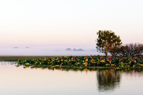 Lotus flowers on a river at dawn