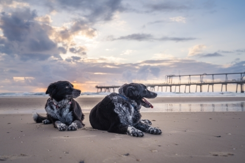 Low angle two dogs resting on beach at sunrise