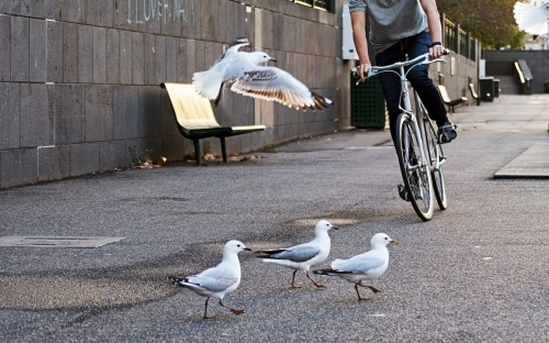 Low Section Of Man Riding Bicycle with Seagulls On Street