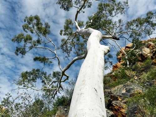 ghost gum in the West MacDonnell ranges