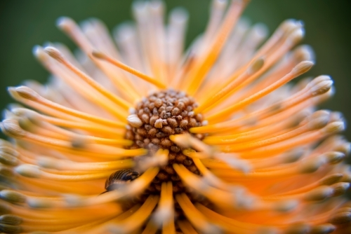 Macro Shot of Banksia Flower