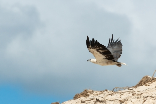 Magnificent White-bellied Sea-Eagle in flight above sand dunes