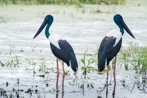 Male and female Jabiru